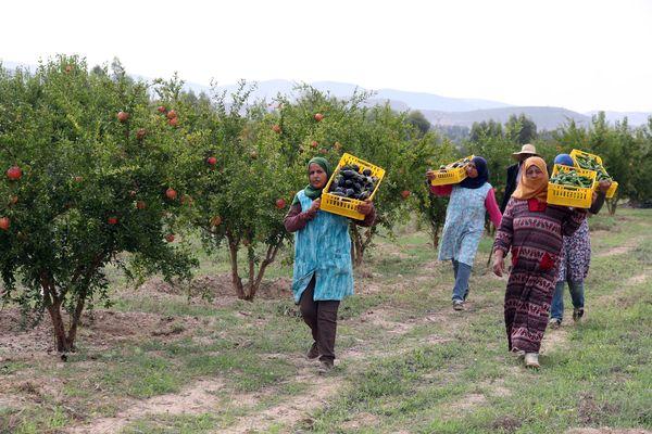 Récolte de légumes dans une ferme certifiée en agriculture biologique de 94 hectares, au sud de Tunis