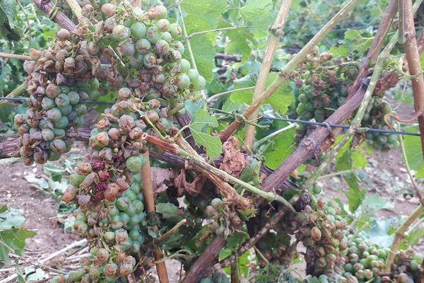 Les orages ont particulièrement endommagé le vignoble sézannais ce vendredi 9 août