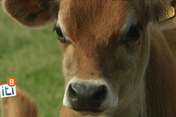 La petite vache aux yeux de biche...