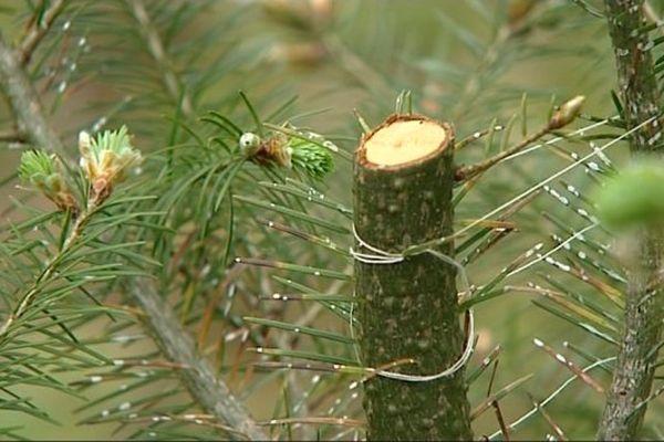 Un des douglas coupés par le collectif Lechi-Dryades dans une forêt de l'Yonne