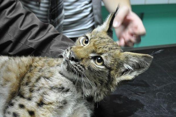 Le petit (orphe)lynx ne pesait que 5,250 kg à son arrivée au centre
