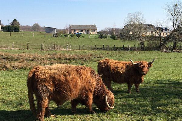 Avec les vaches des Highlands, on pourrait se croire en Ecosse.