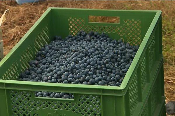 La récolte des bluets commence dans les Vosges