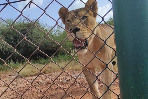 Une des trois lionnes du parc animalier de Ziniarié au Burkina Faso / © Cédric Zanelo / Des Fauves pour demain