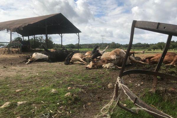 Exploitation agricole au lieu dit La Mazure. Animaux euthanasiés. 12 bovins. 4 cochons.