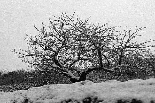 Cerisier sous la neige dans les Monts du Lyonnais- Lundi 25 février 2013