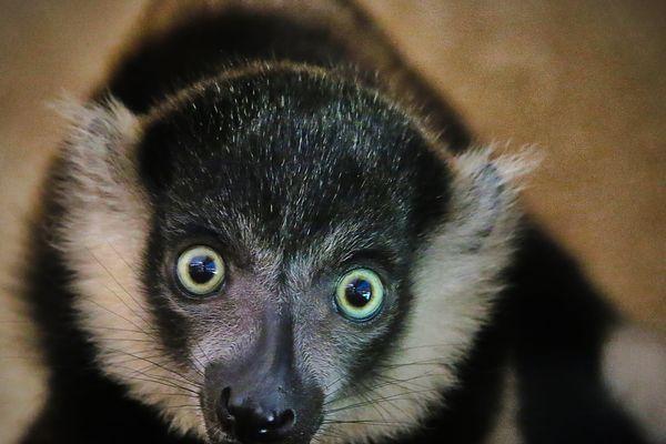 Un bébé maki vari est né au parc zoologique d'Amnéville.