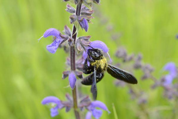 Les abeilles adorent la sauge des prés