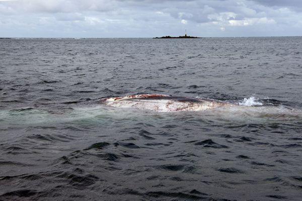 C'est une femelle rorqual qui gît depuis presqu'une semaine au large de Cherbourg.