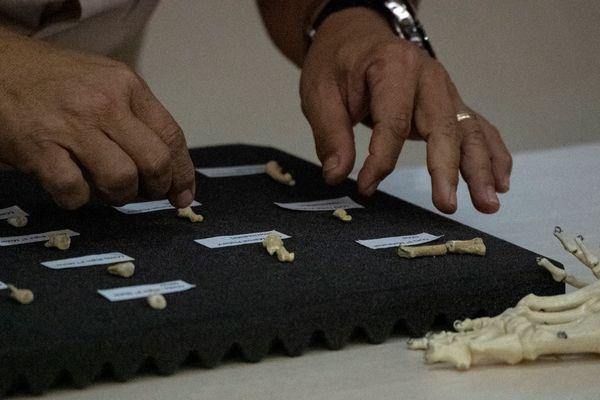 Les ossements d'Homo luzonensis présentés ce 11 avril 2019 à l'université de Manille aux Philippines.