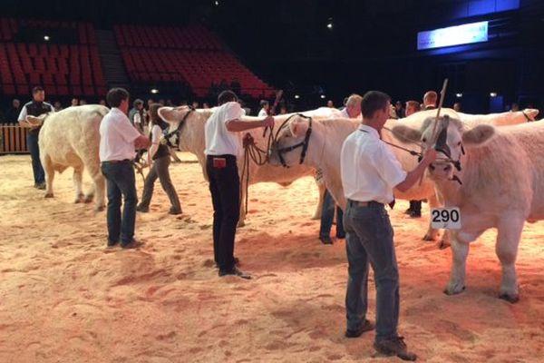 Cette année, les stars du Sommet de l'Elevage ce sont les Charolaises. Plus de 400 animaux de cette race emblématique participent au concours national de retour au Sommet après 6 années d'absence.