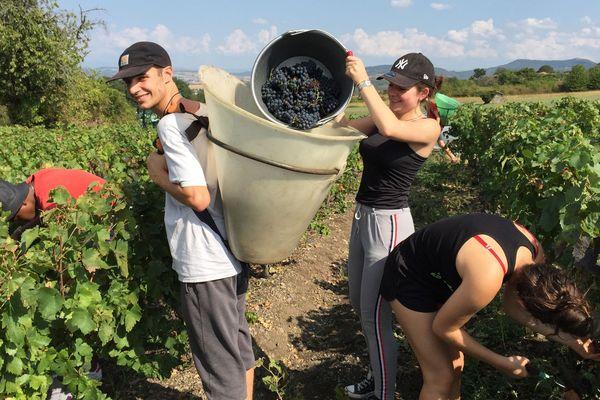 Les vendanges, pour ces étudiants, c'est l'occasion de mieux connaître le travail du vigneron mais aussi de renforcer la cohésion du groupe.