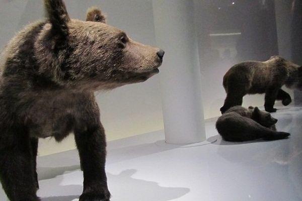 """Ours en vitrine dans l'expo """"Ours mythes et réalités"""" du Muséum d'Histoire Naturelle de Toulouse"""
