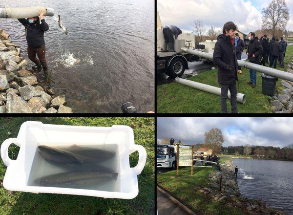 Une tonne de truites arc-en-ciel adultes vient d'être relâchée dans le plan d'eau de St Estèphe ce 8 décembre, comme un cadeau de noël aux pêcheurs
