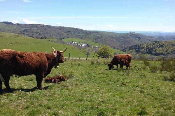 Comme chaque année, des vaches salers seront présentes au salon international de l'agriculture de Paris.