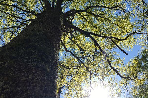 Trois chênes nobles ont été prélevés dans la forêt privée de Campuzan dans les Hautes-Pyrénées pour reconstruire le tablier qui soutiendra la flèche de Notre-Dame de Paris