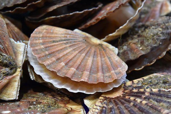 Coquille Saint-Jacques : les pêcheurs normands et anglais d'accord ?