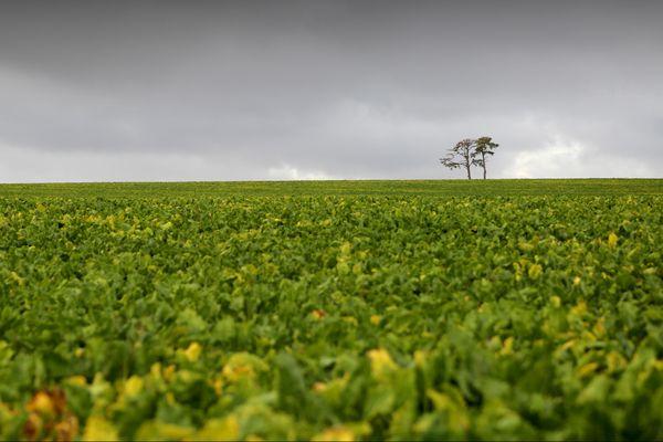 La plaine de Champagne et ses champs de betteraves