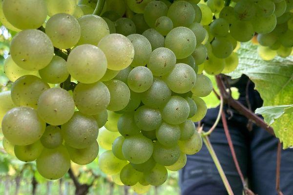 Des raisins de bonne qualité cette année