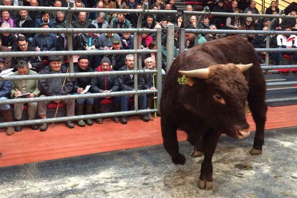 À Saint-Bonnet de Salers, les acheteurs sont venus de toute la France pour participer à la 37e vente de taureaux Salers.