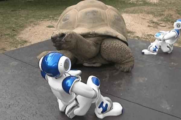 Nao, le robot et Bouffy, la tortue, à la vallée des tortues à Sorède, dans les Pyrénées-Orientales - 25 août 2015