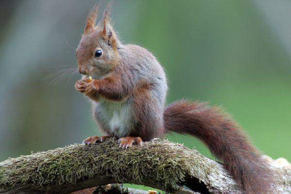 Les habitants de la Métropole grenobloise sont invités à signaler leurs observations d'écureuils roux et de hérissons d'Europe.