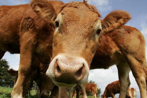 Le Limousin regroupe sur son territoire près de 41% de vaches allaitantes bio de Nouvelle-Aquitaine.