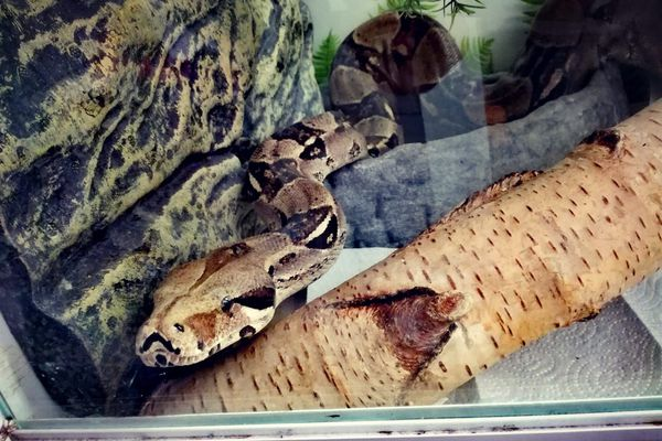 Le serpent s'était échappé de son terrarium dans un quartier sur les hauteurs de Nîmes. Il a été retrouvé à l'issue d'une battue organisée ce dimanche 18 juillet après une matinée de recherches.