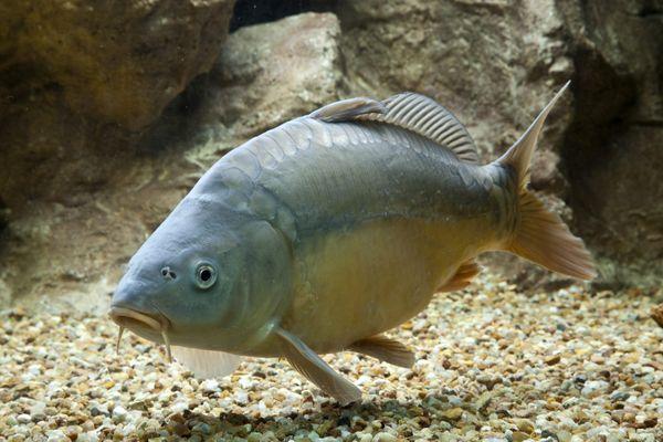 Parmi les espèces qu'on peut pêcher au lac du Der, de belles carpes miroir.