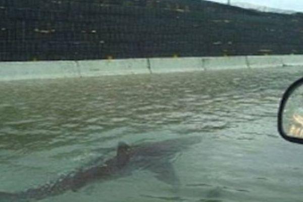 """Photo montage d'un requin """"pailladin"""", pas de panique, c'est une fausse photo"""