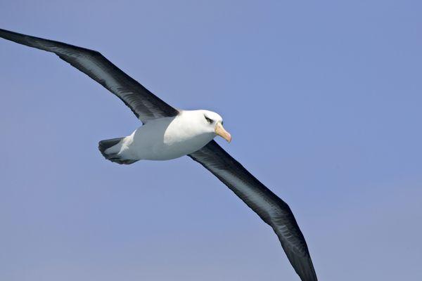 Entre novembre 2018 et mai 2019, les albatros ont pu patrouiller plus de 47 millions de kilomètres carrés.
