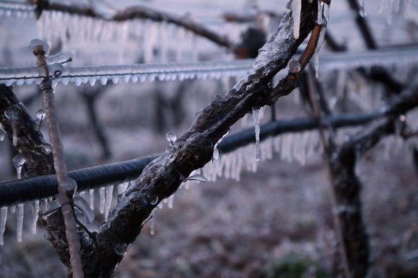 Les vignes gelées - 8 avril 2021