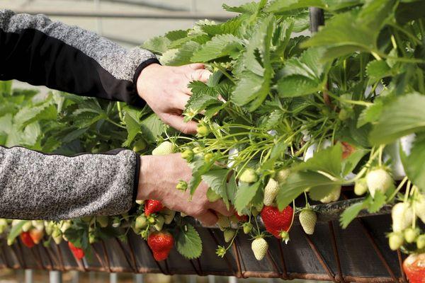 Cultures de fraises à Carpentras