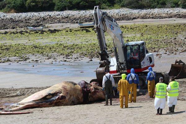 Le rorqual commun de 17 m de long pour environ 30 tonnes a été découpé sur une plage de Camaret-sur-Mer
