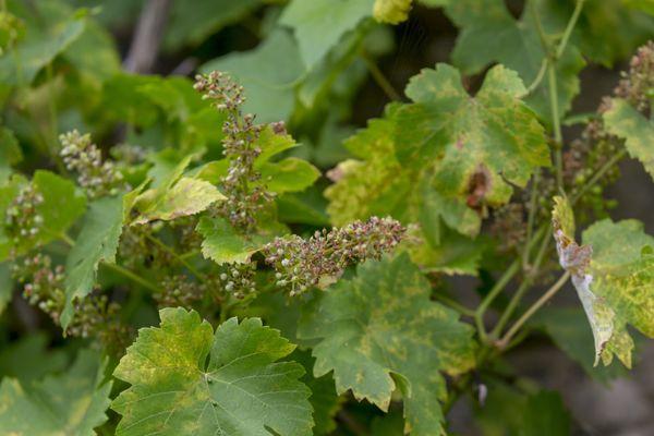 Par temps humide, le mildiou vient nécroser les grappes après avoir attaqué les feuilles.
