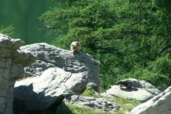 Les marmottes du parc du Mercantour.