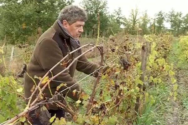 Alain Déjean, viticulteur en biodynamie, s'oppose à l'arrachage de ces ceps de vignes contaminés par la flavescence dorée