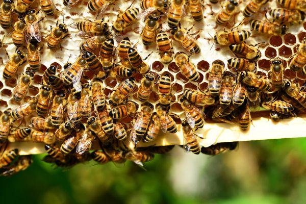 Température, humidité, nombre d'abeilles... Le système permet de suivre la santé de la ruche en temps réel.