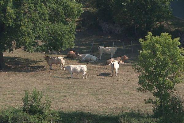 Les éleveurs de Saône-et-Loire sont inquiets après un acte de cruauté commis sur un veau.