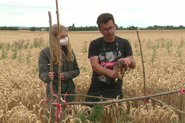 Les bénévoles du groupe ornithologique normand au chevet des bébés busards dans les champs
