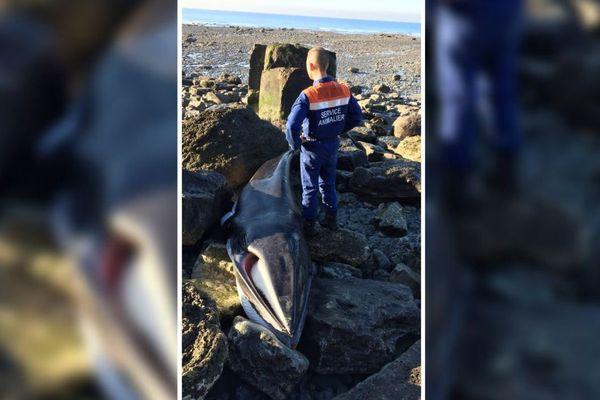 Un petit rorqual a été retrouvé échoué à Wimereux.