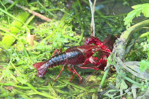 Les écrevisses de Louisiane prolifèrent au lac de Grand-Lieu