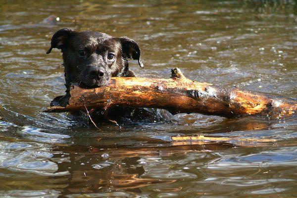 Un chien dans l'eau, dans le Bénélux en 2009. (image d'illustration)