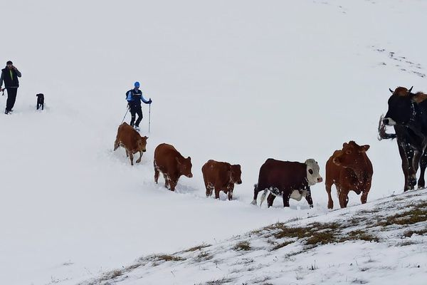 Le PGHM a accompagné l'éleveur pour redescendre ses bêtes égarées en toute sécurité dans la vallée