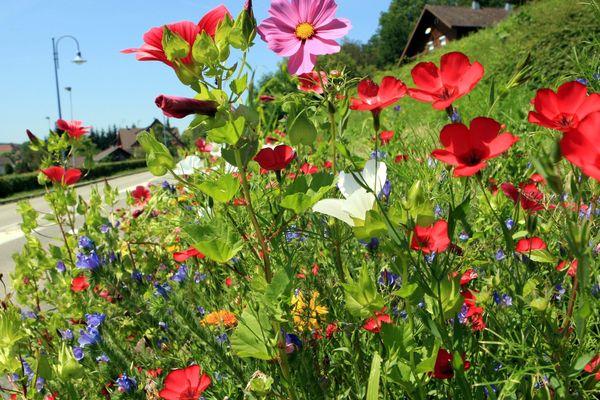 Image prétexte de fleur en jachère. ( Raedersdorf, Alsace, le 24/07/12)