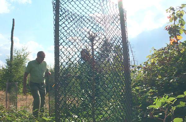 Pour remplacer le sapin ou l'épicéa dans les Vosges : le pin laricio, une essence provenant de Corse est actuellement à l'essai depuis 2019.