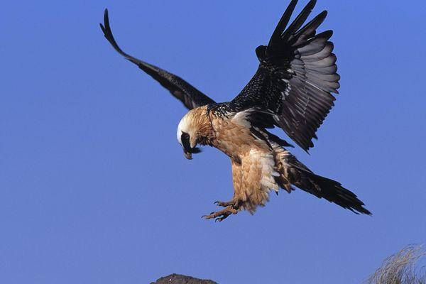 Parmi les 3 espèces concernées par le centre, le Gypaète barbu, qui doit son nom à son menton orné d'une barbe noire.