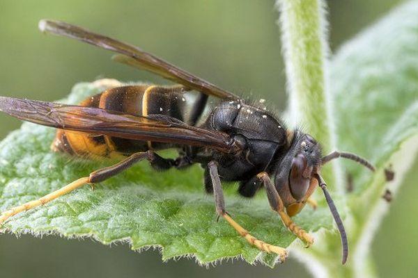 Le frelon asiatique, tueur d'abeilles