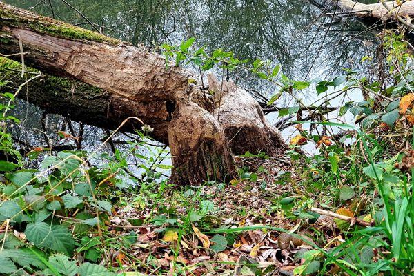 Deux arbres bien grignotés par le castor d'Eurasie aux abords des tourbières de la Bar, dans les Ardennes.