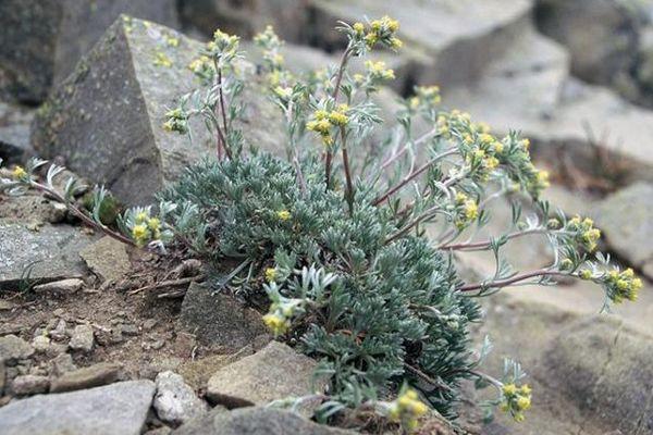 Le génépi jaune fait partie des trois variété dont la cueillette est autorisée sous certaines conditions dans le Mercantour.